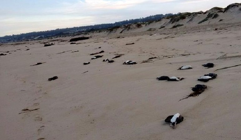 animal die-off chile, cormorants mass die-off chile, 50 cormorants dead chile may 2016, animal die-off chile cormorants prawns may 2016, shrimps die-off arica chile, masiva varazón de langostinos en Arica, chile prawns die-off may 9 2016, red beach chile mass die-oof, millions schrimps die arica beach chile may 9 2016, Varazón de langostinos arica, schrimps die-off arica may 9 2016 video