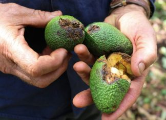 Around 80 per cent of the fruit on the 12,000 avocado trees in the Pretty Gully orchard was knocked to the ground