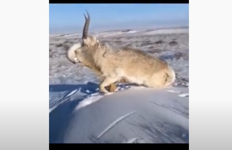 saiga antelope frozen to death kazakhstan, animals in kazakhstan freeze to death, animals in kazakhstan freeze to death video, animals in kazakhstan freeze to death pictures