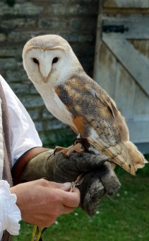 A barn owl at Mary Arden's Farm ©Stratfordblog.com