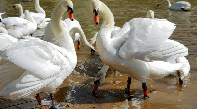 5 ways to protect the swans in Stratford-upon-Avon