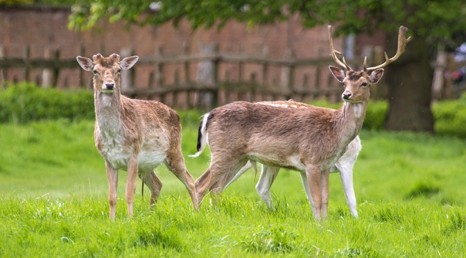 Antler antics at Charlecote Park