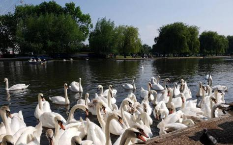 Join the Stratford swans on the Avon