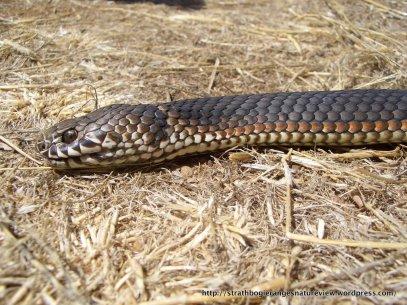 Alpine, or Highland Copperhead Snake.