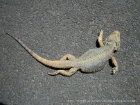 The Eastern Bearded Dragon (Pogona barbata)