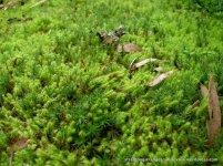 A carpet of two types of moss, probably Breutelia affinis & Dawsonia longiseta