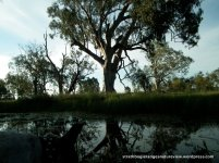 Some large River Red Gums remain.