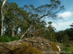 Another Snow Gum