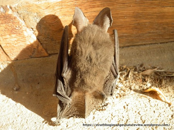 The tail of this bat has membranes that attach it to the ankles, creating a scoop that the bat uses to catch insect prey.