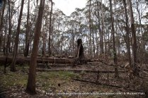 Another forest giant felled by by the burn. This tree was left by loggers and the forest was regenerating around it.
