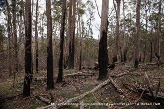 Dense regeneration following logging 40-50 yrs ago.