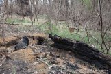 More large logs and stumps on the forest floor burnt to ash - serious loss of habitat.