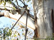 Striated Pardalotes may be small, but they nest in hollows in these forest giants.