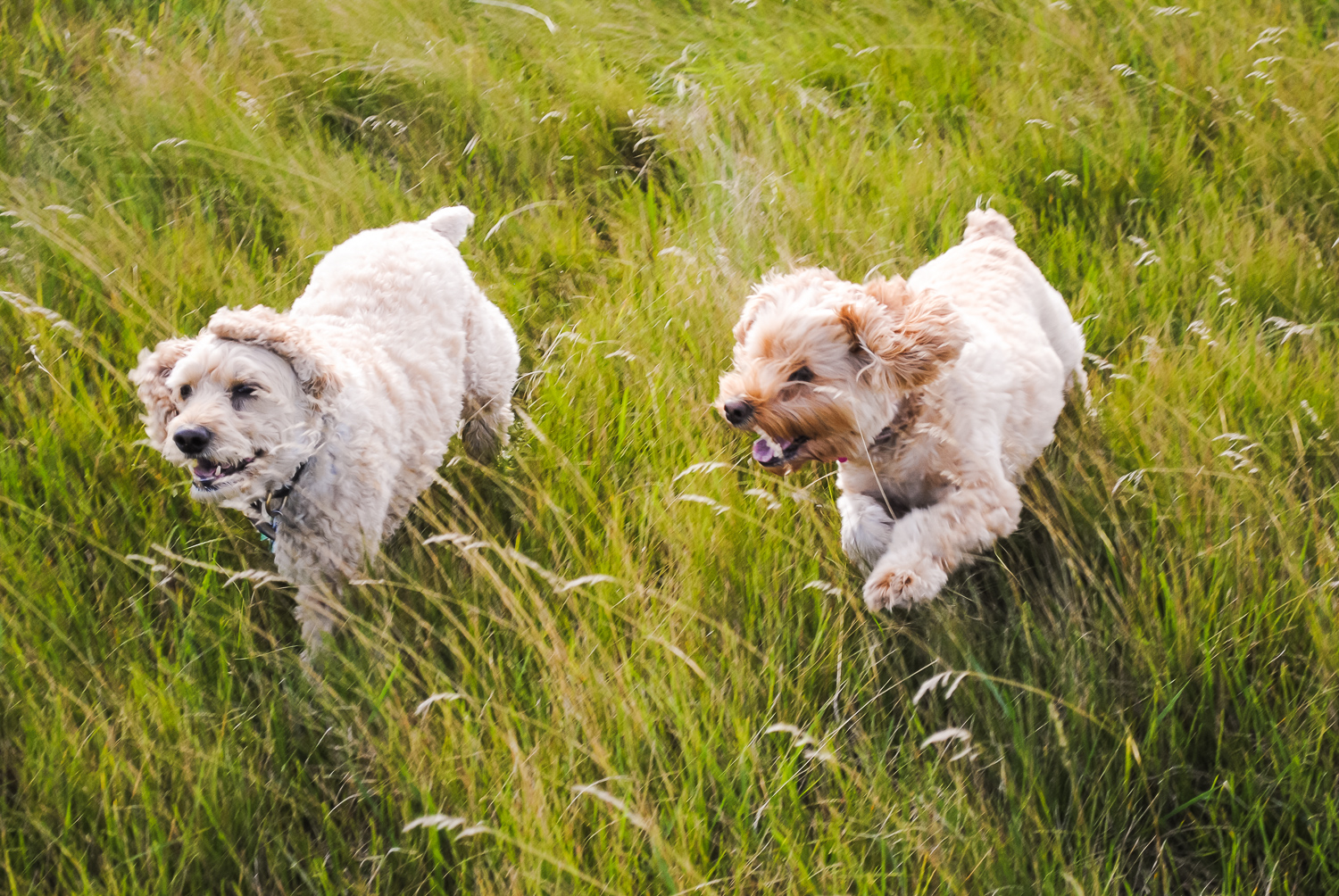 Two dogs running together