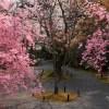 京都の桜 おすすめの穴場撮影スポット|北区編③|正伝寺・常照寺・大宮交通公園