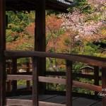 京都の桜 おすすめの穴場撮影スポット|北区編②|等持院・椿寺・原谷弁財天