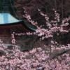 京都の桜 おすすめの穴場撮影スポット|上京区編②|妙蓮寺・雨宝院・本隆寺