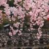 京都の桜 おすすめの穴場撮影スポット|右京区編④|二尊院・常寂光寺・化野念仏寺