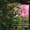 京都の桜 おすすめの穴場撮影スポット|右京区編|退蔵院・法金剛院・蓮華寺