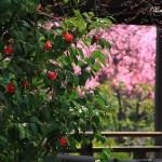 京都の桜 おすすめの穴場撮影スポット 右京区編 退蔵院・法金剛院・蓮華寺