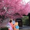 京都の桜 おすすめの穴場撮影スポット|左京区編②|聖護院・知恩寺・長徳寺