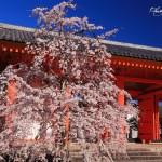 京都の桜 おすすめの穴場撮影スポット|東山区編③|三十三間堂・養源院・法往寺