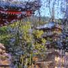 京都 桜の名所|中京区・南区・伏見区編|木屋町通り・東寺・醍醐寺