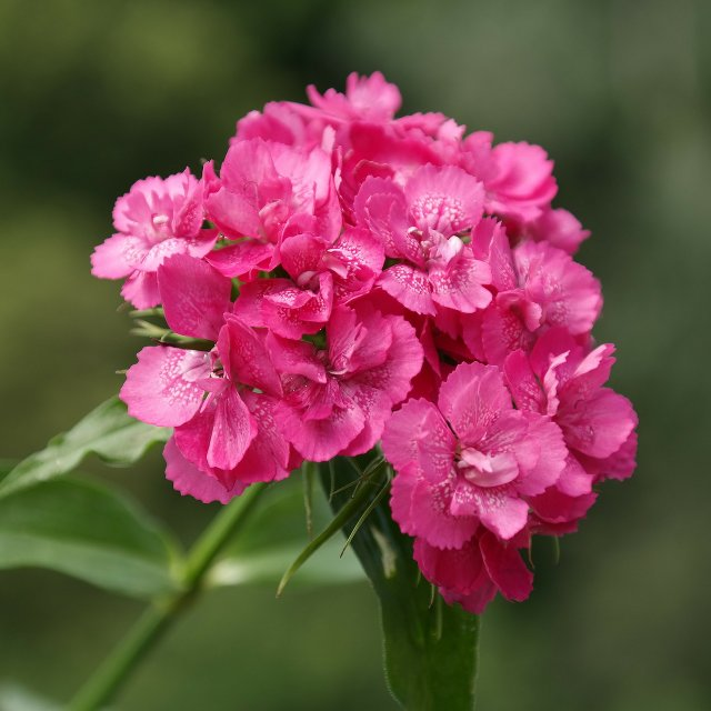 Birth Month Flowers - January - Carnation