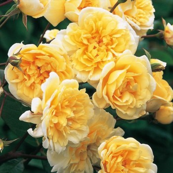 David Austin Rambler Rose Malvern Hills available from Strawberry Garden Centre, Uttoxeter