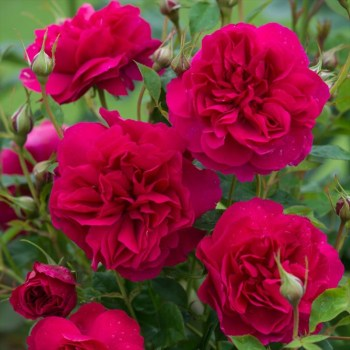 David Austin Shrub Rose Thomas A Becket available from Strawberry Garden Centre, Uttoxeter