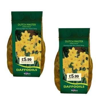 Taylors Bulbs DC61 2 x 2kg Narcissus Dutch Master available from Strawberry Garden Centre, Uttoxeter