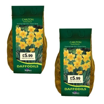 Taylors Bulbs DC64 Narcissus 2 x 2kg Carlton available from Strawberry Garden Centre, Uttoxeter