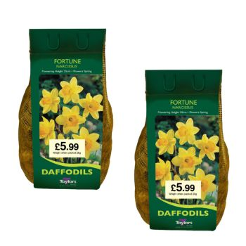 Taylors Bulbs DC65 Fortune Daffodils 2 x 2kg available from Strawberry Garden Centre, Uttoxeter