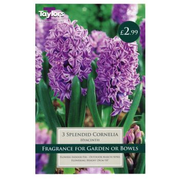 Taylors Bulbs TP636 Hyacinth Splendid Cornelia available from Strawberry Garden Centre, Uttoxeter