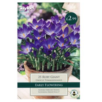 Taylors Bulbs TP665 Crocus Ruby Giant available from Strawberry Garden Centre, Uttoxeter