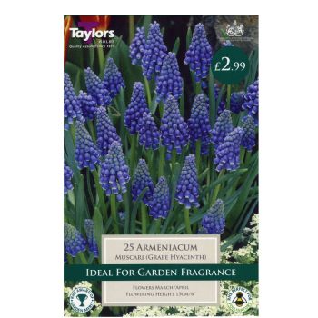 Taylors Bulbs TP798 Muscari Armeniacum available from Strawberry Garden Centre, Uttoxeter