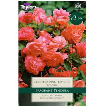 Taylors Bulbs TS246 Begonia odorata pink flamingo bulbs available from Strawberry Garden Centre, Uttoxeter