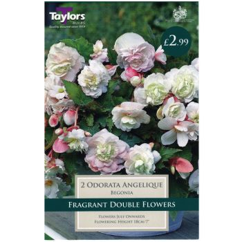 Taylors Bulbs TS279 Begonia odorata angelique bulbs available from Strawberry Garden Centre, Uttoxeter