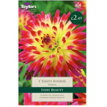 Taylors Bulbs TS362 dahlia tahita sunrise available from Strawberry Garden Centre, Uttoxeter