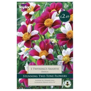 Taylors Bulbs TS410 dahlia twynings smartie available from Strawberry Garden Centre, Uttoxeter