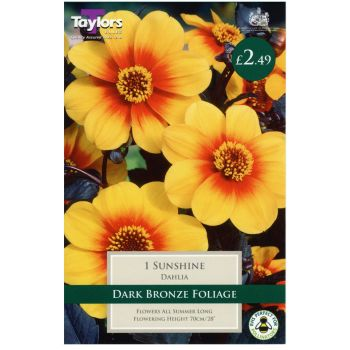 Taylors Bulbs TS435 dahlia sunshine available from Strawberry Garden Centre, Uttoxeter