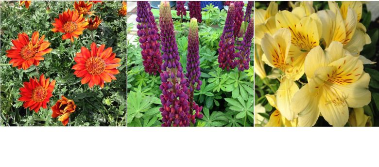 Summer Flowering Perennials available from Strawberry Garden Centre, Uttoxeter
