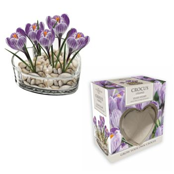 Taylors Bulbs AP50 Indoor Crocus Heart available from Strawberry Garden Centre, Uttoxeter