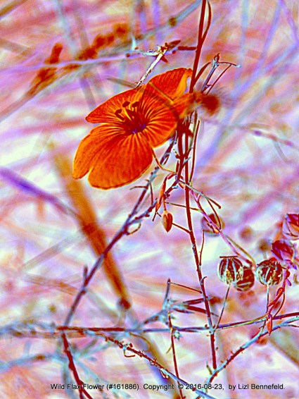 blue wildl flax, colors inverted
