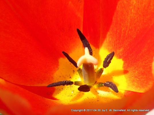 Tulip, Newly Blooming