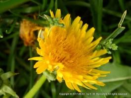 My Yellow Dandelion