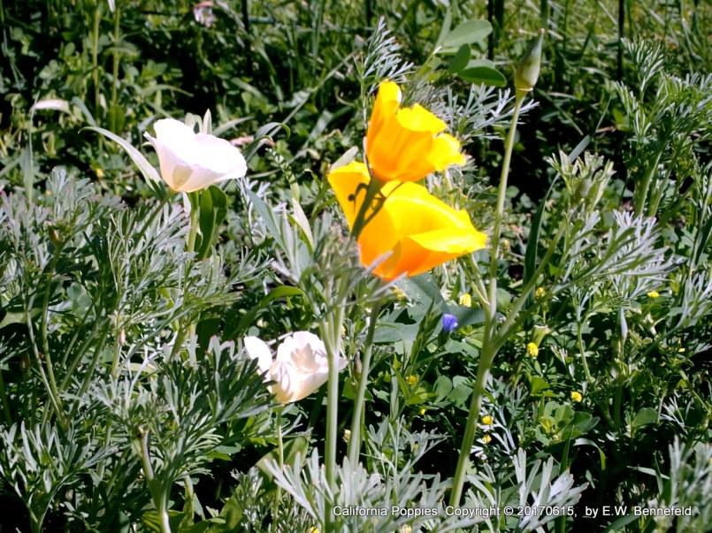Poppies in Light