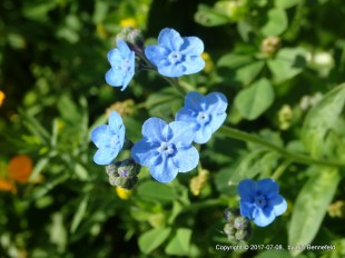 Forget Me Not wildflowers, Lizl Bennefeld (2017-07-08)