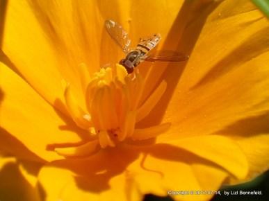 Hoverfly in California Poppy