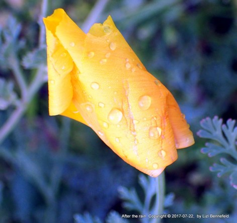Yellow california poppy, closed, raindrops